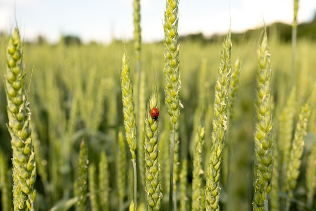 Green spikelets with a ladybug on the background of a field in the rays of the setting sun
