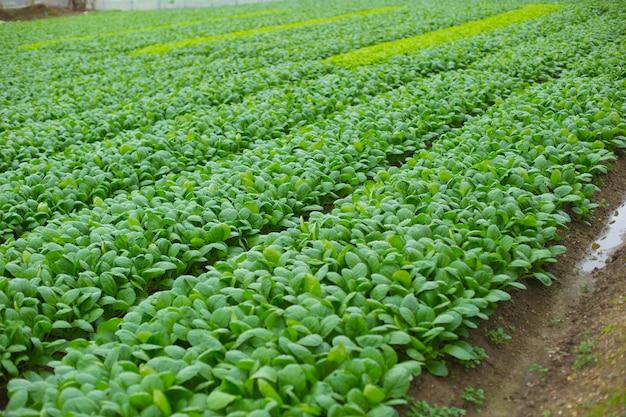 日本の緑のほうれん草農業分野。