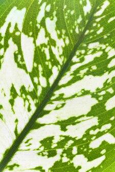 窓の植物「ディフェンバキア」のクローズアップの緑の斑点の葉の断片(自然の表面)
