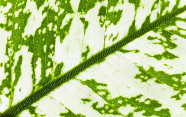 窓の植物「ディフェンバキア」マクロの緑の斑点の葉の断片(自然の背景)