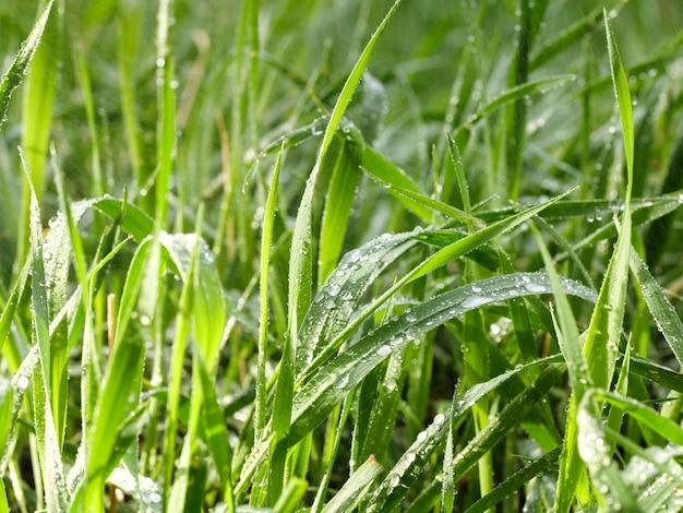 露の滴を持つ緑の春の草。緑の背景。