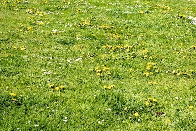 Зеленый весенний газон с цветами одуванчика и ромашки