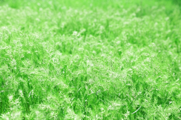 Green spring medow