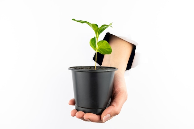 Green sprout in a black pot on a woman's hand.