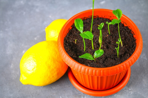 A green sprout of lemon in a pot. seedling from the bones. ripe lemon fruit next to a tree
