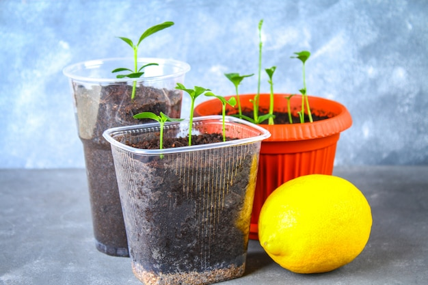 A green sprout of lemon in a pot. seedling from the bones. ripe lemon fruit next to a tree.