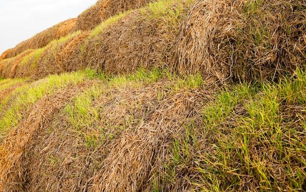 収穫後に残ったわらの山に発芽した小麦の緑の芽
