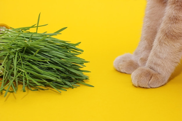 Green sprouted oats and cat paws on a yellow background. green grass in the diet of cats