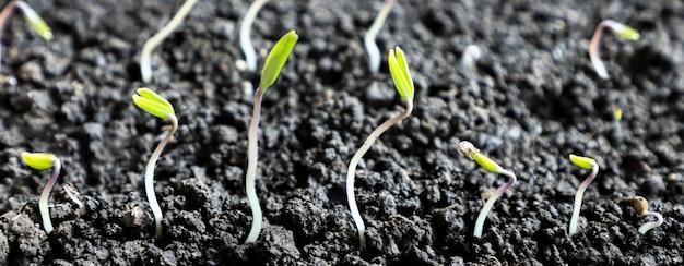 토양, 묘목에서 자라는 녹색 콩나물 클로즈업