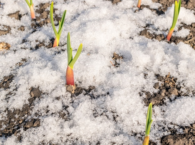 Green sprouts of garlic growing through the snow
