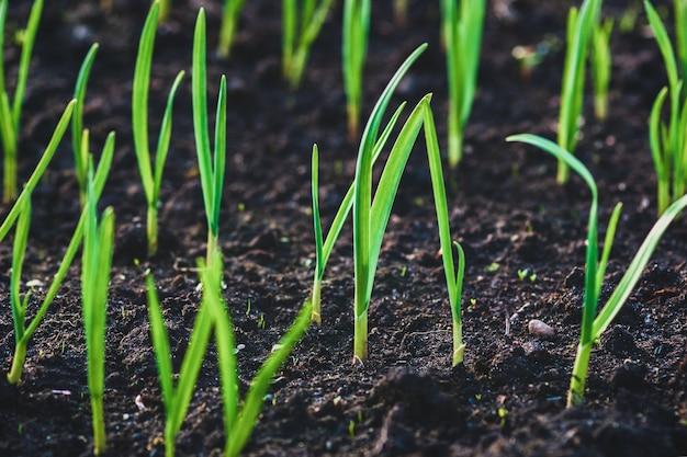 채소밭에서 자라는 마늘의 녹색 콩나물