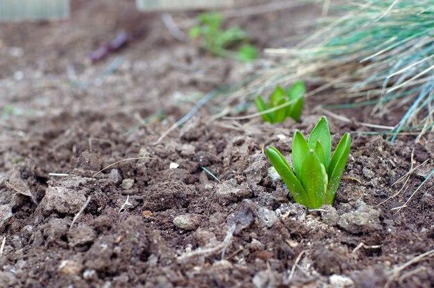 水仙の緑の芽