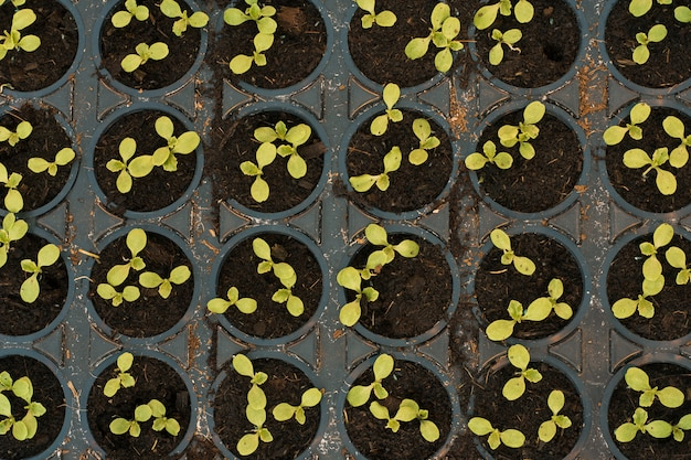 Green sprouts in pots in a greenhouse, top view