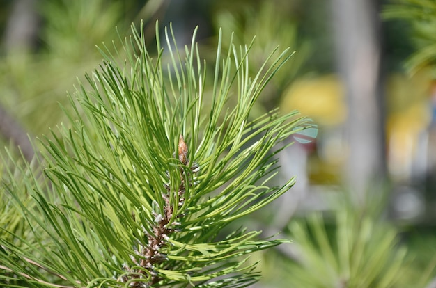 Green spruce branch in sunny weather in the daytime outdoors. floral background image with blurred background