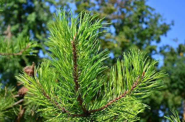 Green spruce branch in sunny weather in the daytime outdoors