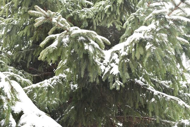 Зеленые еловые ветки в снегу