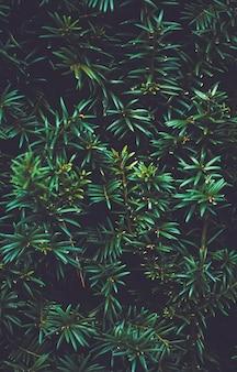 緑のトウヒ低木植物のテクスチャと自然のデザイン