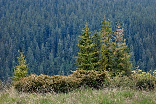 Green spruces in mountain forest.
