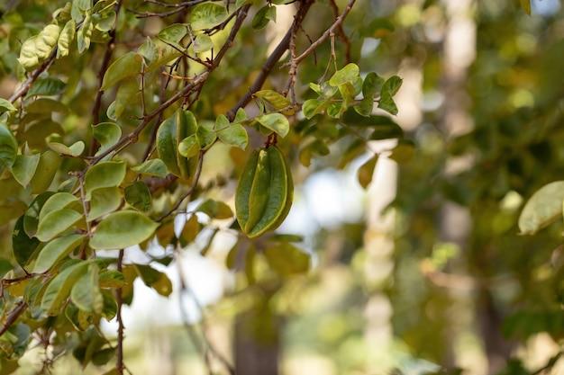 Green star fruit of the species averrhoa carambola