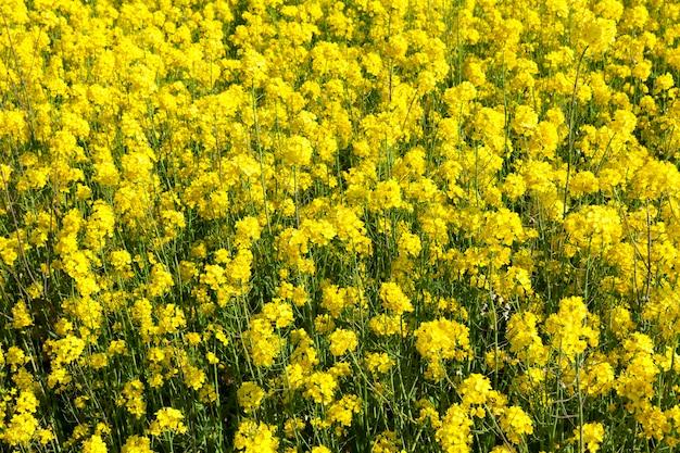 Зеленые стебли и желтые цветы рапса