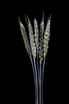 Green stems of wheat on a black background. raw wheat spikelets on a dark background, close up
