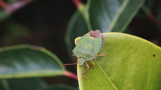 緑のカメムシ