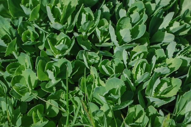 녹색 stonecrop 잎을 닫습니다.