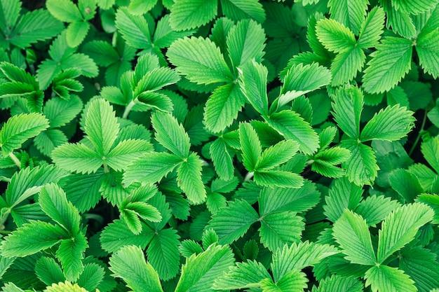Зеленые листья клубники в саду