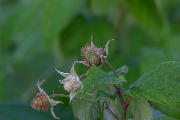 Зеленая клубника малина. размытый фон.