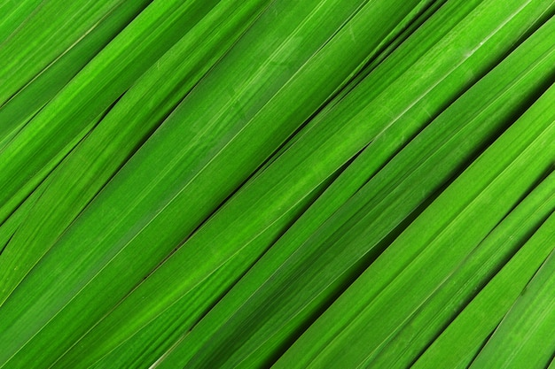 Green striped leaf for iris flowers