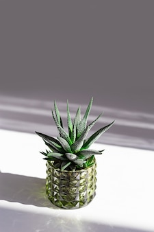 Green succulent in glass pot on white with dark shadows and copy space. creative still life image with small trendy plant.