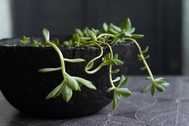 Green succulent plant in modern black concrete planter on kitchen