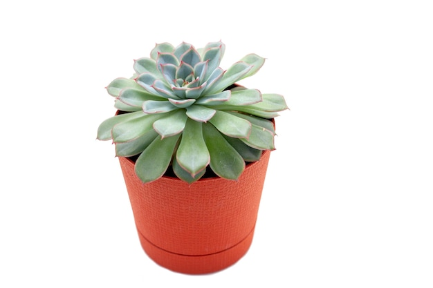 Green succulent plant in a pot isolated on white