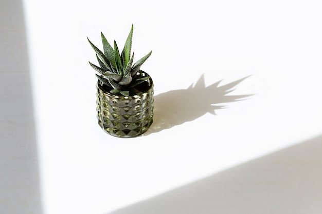 Green succulent on white concrete background with shadows