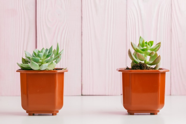 Green succulents on pink wooden background.