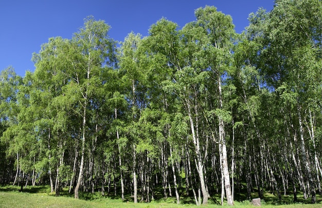緑の夏の風景、晴れた日の白樺の森