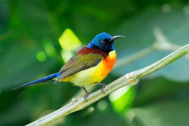 Green-tailed sunbird; aethopyga nipalensis
