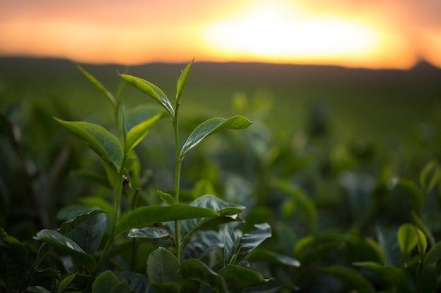 緑茶のつぼみと新鮮な葉。茶畑。