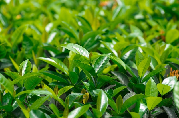 Бутон зеленого чая и свежие листья