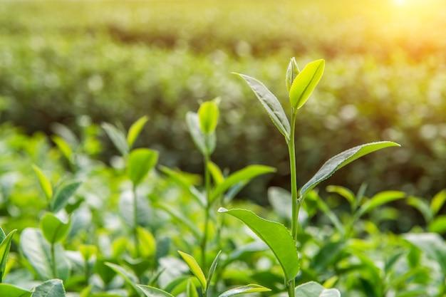 緑茶のつぼみと葉。緑茶農園と朝晴れ。
