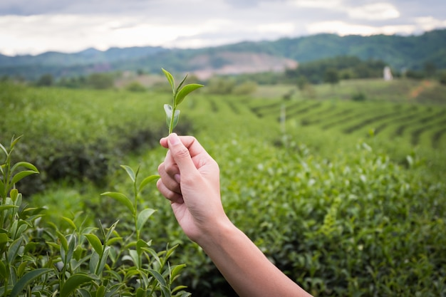 Green tea bud and fresh leaves.handle with leaves tea.tea plantations. chui fong farm chiang rai