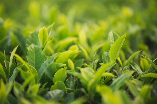 Green tea bud and fresh leaves. tea plantations.