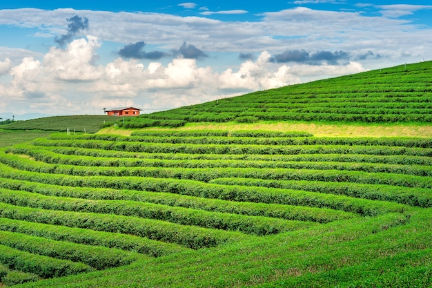 Green tea bud and leaves. green tea plantations in morning. nature background.