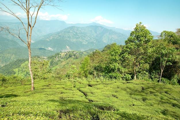 Green tea bushes on plantation in darjeeling, india