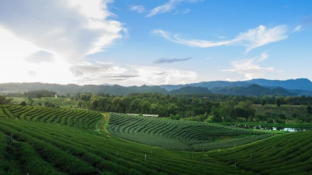 Green tea farm at chiang rai, thailand