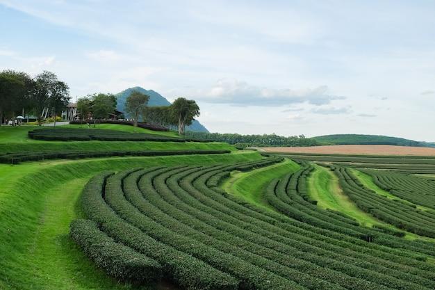 Green tea farm at chiang rai