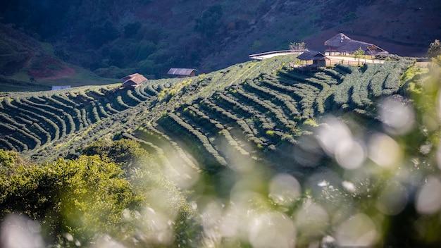 Green tea farmland agricultural area chiang mai thailand