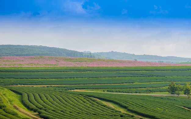 Green tea field with blue sky