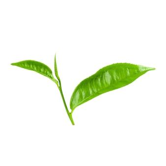 白の上に分離された緑茶の葉