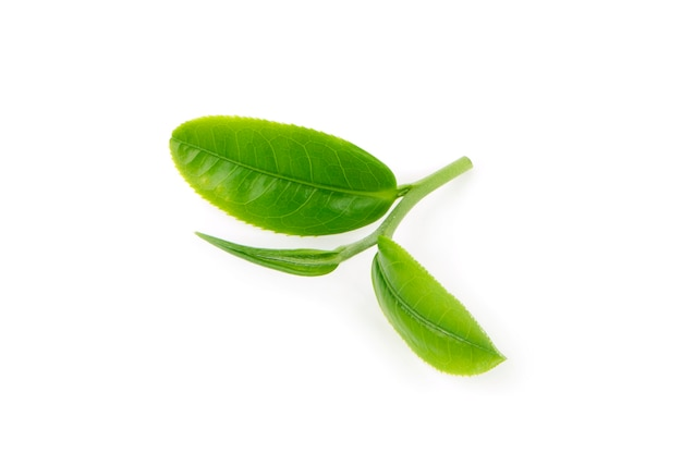 Green tea leaf isolated on white surface